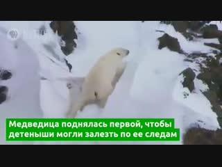 Полярная медведица устроила обвал, чтобы спасти медвежат