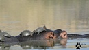 Hippo becomes a boat - Kruger National Park, Raw Wild