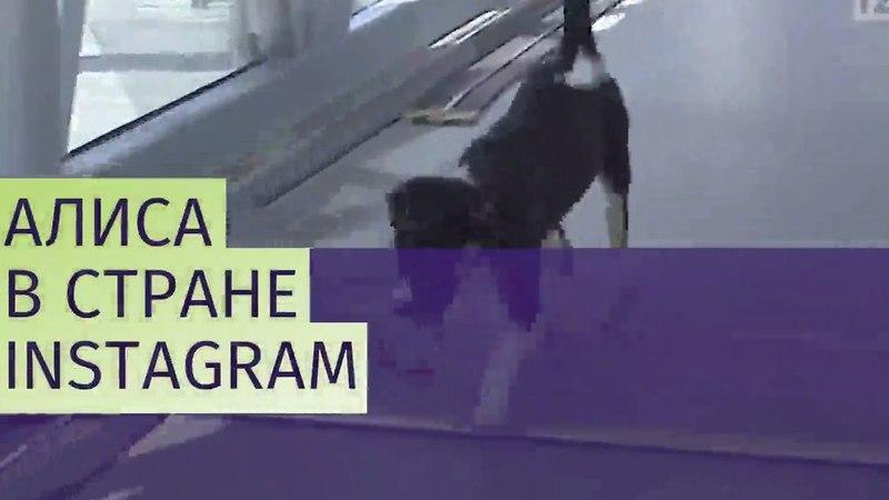 Талисман аэропорта Симферополя собака Алиса завела Instagram