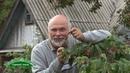 Ремонтантная малина не успевает отдать урожай, но за счет высокой урожайности все равно очень перспе