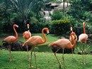 ...является украшением не только зоопарков, но и озер тропического и субтропического пояса Азии, Африки и Америки.