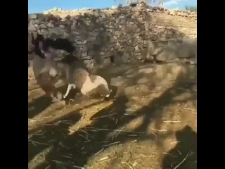 Wannabe kardashian tries to take away baby lamb from it's mother.