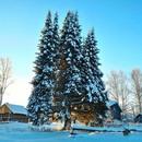 Такая тройня растет в селе Руч Усть-Куломского района Республики Коми. Ей более 100 лет.