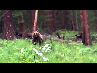 Охота. Медведь напал на охотников