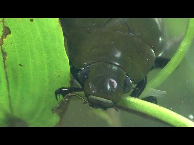 Водолюб чёрный (Hydrophilus piceus)