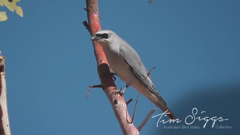 White-bellied cuckooshrike / Белобрюхий сорокопутовый личинкоед / Coracina papuensis