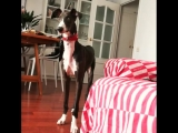 Funny Spanish Galgo puppy
