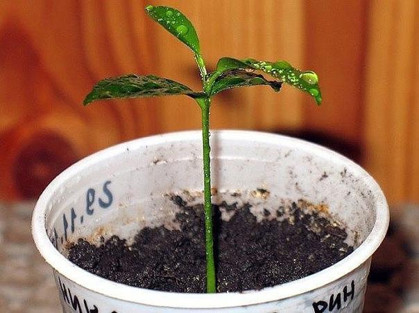 выращиваем мандарин из косточки в домашних условиях - для посадки мандарина вам будут необходимы семена, а точнее косточки, которые можно «добыть», приобретя в магазине несколько спелых