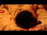 Как спит мопс (звук погромче)