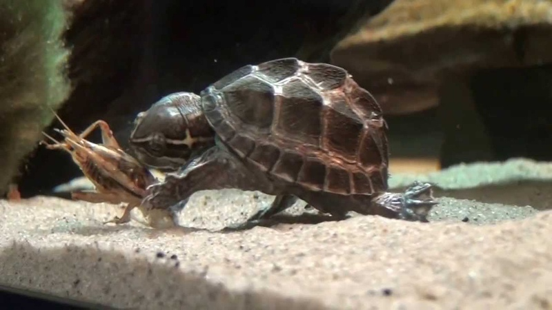Musk Turtle eating cricket 16-12-2013