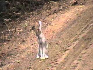 Pysäyttävä ja ajava beagle - Встреча зайца  с биглем.