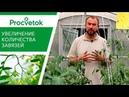 Увеличение урожая помидоров Как повысить количество завязей томатов баклажанов перцев