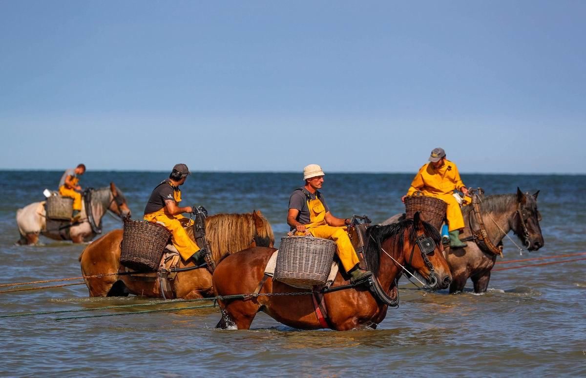 Потомки конных водолазов: Бельгийские рыбаки и со своей главной тягловой силой