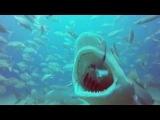 Shark Addicts - Feeding Lemon Sharks 08.10.14