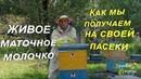 Маточное молочко пчелиное мы собираем на своей эко-пасеки