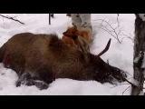 Карело-финская лайка. Охота на лося.