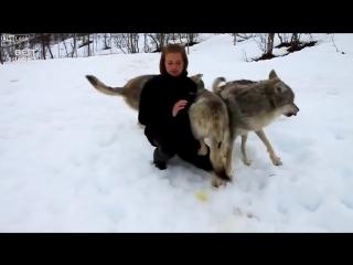 Эта девушка вырастила щенков волчат. Через 4 года они вновь встретились, в дикой природе.