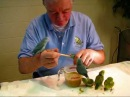 Baby Parrotlet Feeding Party
