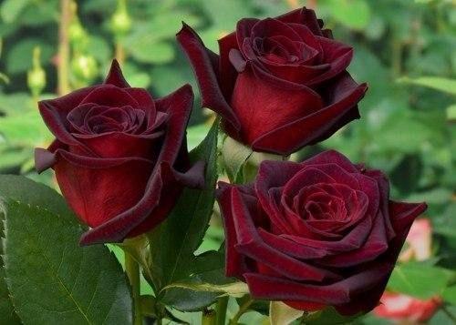 С розами картинки