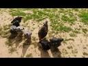 Куры засиделись в курятнике Бегом на свободу