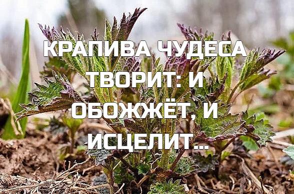 то, что крапива жжет больно, знает каждый. еще авиценна писал о ней: «не в меру горячая сила в этой траве». а ведь крапива (жигалка, жгучка, кострика — как только ее не называют в народе!) — бесценное лекарственное растение, поэтому и хочу более