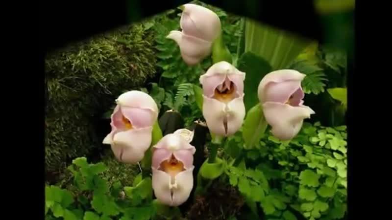 Самые красивые и необычные цветы мира. Обзор. Ангел пролетел