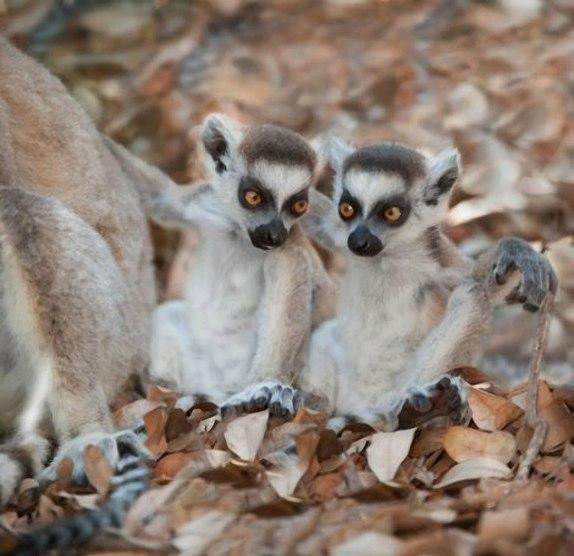 Прыгающие лемуры Мадагаскара.