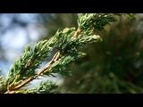 Вегетативное размножение Можжевельника. Секреты черенкования растения