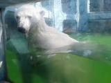 В сети появились кадры отдыха красноярского медведя Седова в Геленджике