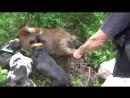 Охота на кабана с кэтч-догами