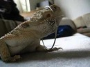 Loosey the singing bearded dragon pogona vitticeps
