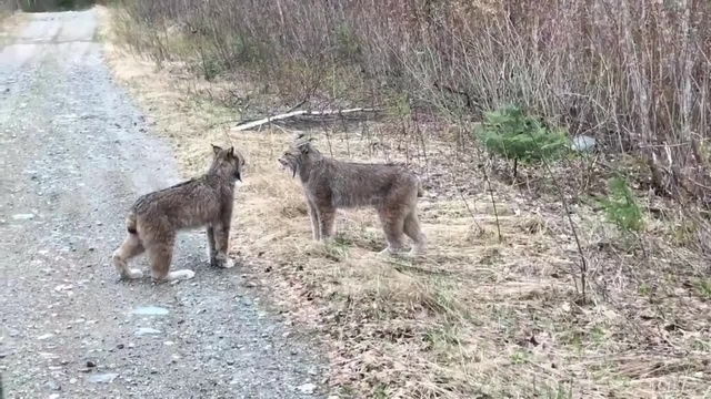 Two Lynx on the road Две рыси на дороге coub