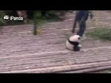 Панда хочет обнимашек