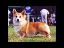 Породы собак Вельш корги