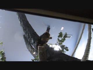 Золотистоголовый львиный тамарин кушает 16.10.18