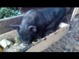 Свинтусы первый день на улице,знакомство с пернатыми!)