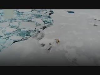 Команда 9-й китайской арктической научной экспедиции столкнулась с тремя белыми медведями