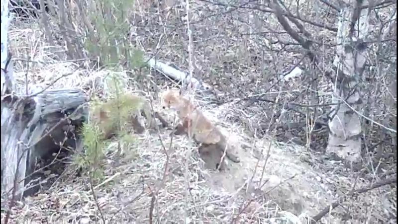 4 рыжих лисёнка. Северодвинск.