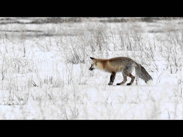 Pouncing Red Fox in the snow super slow motion
