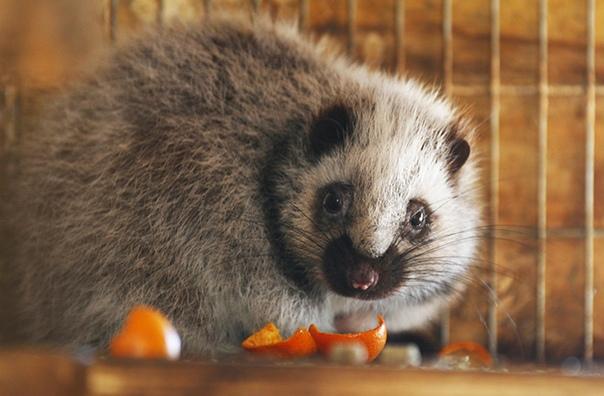 Пушистые крысы - новый вид, обнаруженный в 2019 году