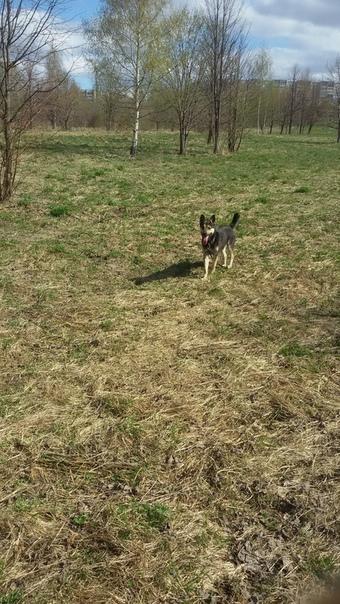 В Парке победы найдена потеряшка. Пес с ошейником и поводком. Прибился к нашим с...