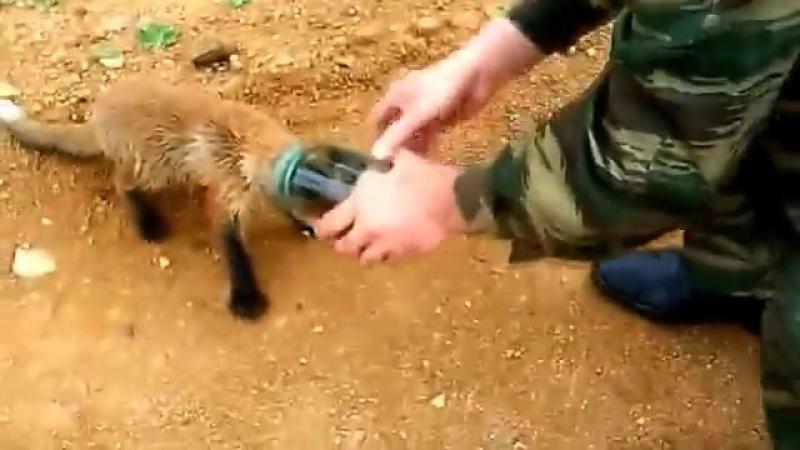 Лисенок подошел к охотникам за помощью