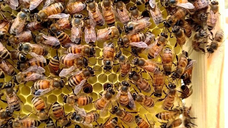 Пчелиный танец