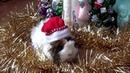 Guinea pig undre the Christmas tree PIGMAS