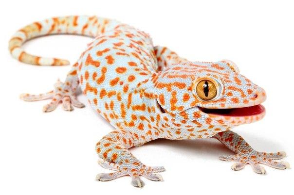 геккон токи, Gekko gecko