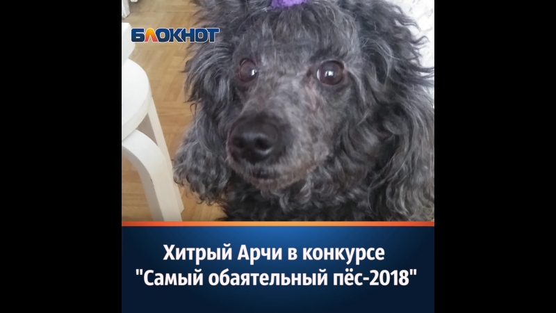 Хитрый Арчи в конкурсе Самый обаятельный пёс 2018