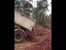 В Австралии уничтожают клубнику после случаев обнаружения в них швейных иголок