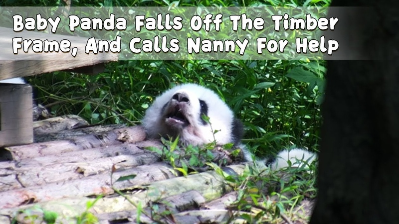 Baby Panda Falls Off The Timber Frame, And Calls Nanny For Help | iPanda