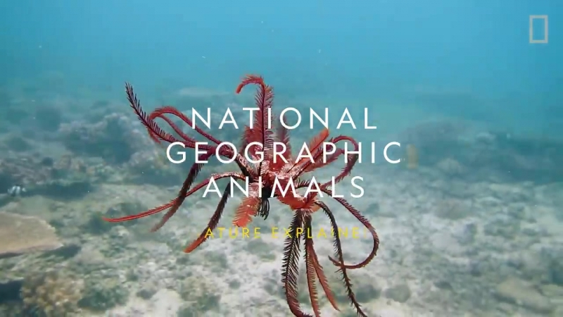 Морские лилии и их симбионты © Nat Geo WILD