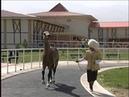 Ahalteke equestrian complex Akhal Teke Stallions